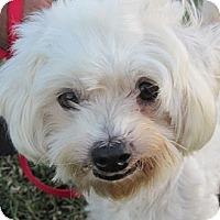 Adopt A Pet :: Bon Bon - La Costa, CA