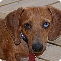 Adopt A Pet :: Simon - Bryan, TX
