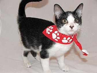 Domestic Shorthair Cat for adoption in Atlanta, Georgia - Buster