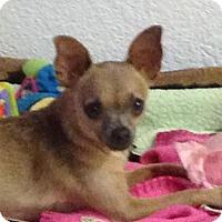 Chihuahua Dog for adoption in Modesto, California - Chica