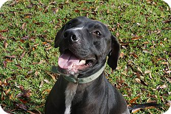 American Staffordshire Terrier Mix Dog for adoption in Ravenel, South Carolina - Marvin