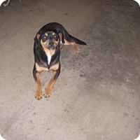 Adopt A Pet :: Little Man - Buchanan Dam, TX