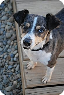 Jack Russell Terrier Mix Dog for adoption in Berea, Ohio - Francis