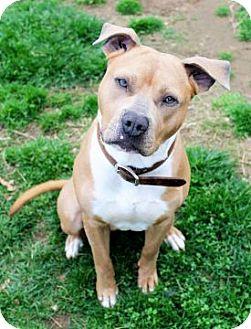 Pit Bull Terrier Mix Dog for adoption in Columbus, Ohio - Rush