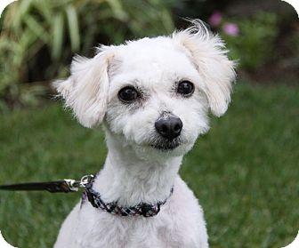 Poodle (Miniature) Mix Dog for adoption in Newport Beach, California - SHELDON