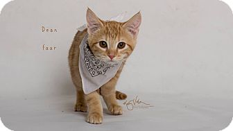 Domestic Shorthair Kitten for adoption in Riverside, California - Deanne