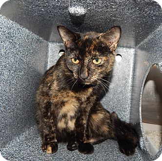 Domestic Shorthair Kitten for adoption in Henderson, North Carolina - Anne