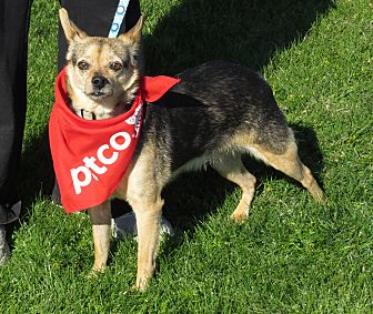 Miniature Pinscher/Chihuahua Mix Dog for adoption in Scottsdale, Arizona - Otis