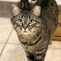 Domestic Shorthair Cat for adoption in Lambertville, New Jersey - Charlie
