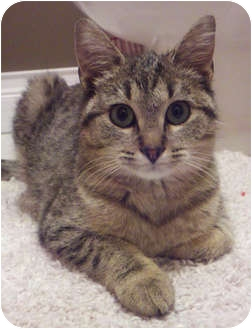 Domestic Shorthair Kitten for adoption in Chicago, Illinois - Meadow