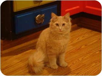 Domestic Longhair Cat for adoption in Muncie, Indiana - Simba--PETSMART