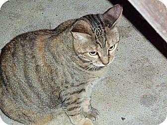 Domestic Shorthair Cat for adoption in Houston, Texas - Xena