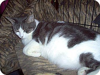 Domestic Shorthair Cat for adoption in Toronto, Ontario - Casey