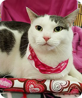 Domestic Shorthair Cat for adoption in Wayne, New Jersey - Karma
