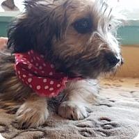 Adopt A Pet :: Pandora- ADOPTED 4/1/17! - Apple Valley, CA