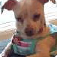 Adopt A Pet :: Cookie and Wonder - Awesome Chihuahua Pair - Seattle, WA