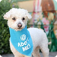 Adopt A Pet :: Princess Poodle - Pacific Grove, CA