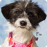 Adopt A Pet :: Pia - Gilbert, AZ