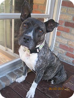 American Pit Bull Terrier/Terrier (Unknown Type, Medium) Mix Dog for adoption in Troy, Michigan - Kenzi