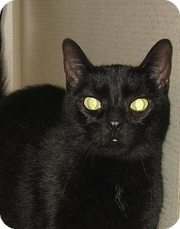 Domestic Shorthair Cat for adoption in Hamilton, New Jersey - MONICA -Declawed