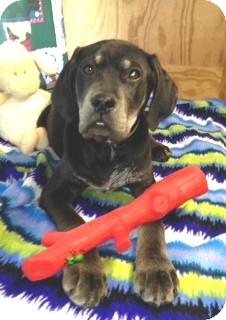 Spaniel (Unknown Type)/Labrador Retriever Mix Puppy for adoption in Greenville, Rhode Island - Mason-Urgent