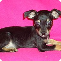 Adopt A Pet :: Dinker - Spring Valley, NY