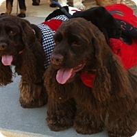 Adopt A Pet :: Bella - Sugarland, TX