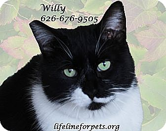 Domestic Shorthair Cat for adoption in Monrovia, California - Winning WILLY
