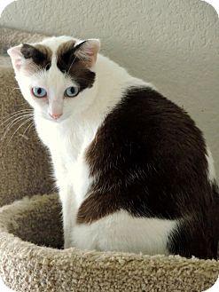 Siamese Cat for adoption in Dallas, Texas - Beauty
