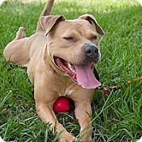 Adopt A Pet :: Lupi - Houston, TX