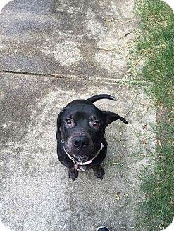 Labrador Retriever Mix Dog for adoption in Richmond, Virginia - Bindi