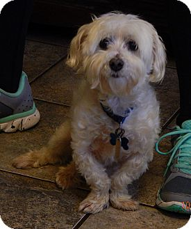 Maltese Dog for adoption in SUSSEX, New Jersey - Oscar(10 lb) Sweetest Ever!