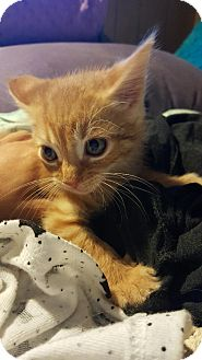 American Shorthair Kitten for adoption in Monroe, New Jersey - Garfield