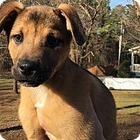 Adopt A Pet :: Shadow - Huntsville, AL