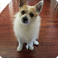 Pomeranian/Jack Russell Terrier Mix Dog for adoption in West Los Angeles, California - Simon