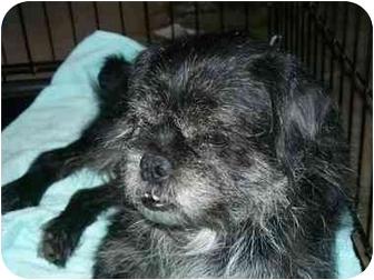 Shih Tzu/Pug Mix Dog for adoption in Mesa, Arizona - Nitro