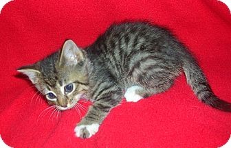 Domestic Shorthair Kitten for adoption in Yakima, Washington - Rez Kitten #6