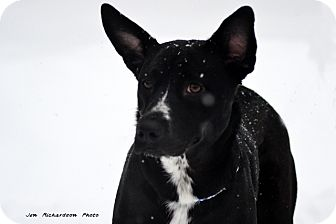 Australian Cattle Dog Mix Dog for adoption in kennebunkport, Maine - Suzy - PENDING, in Maine!