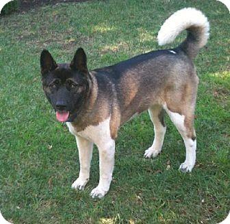 Akita Dog for adoption in Hayward, California - Cleo - Adopted!