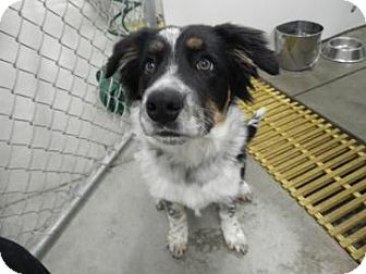 Australian Shepherd/Border Collie Mix Dog for adoption in Buffalo, Wyoming - Trooper