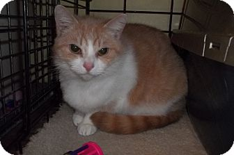 Domestic Shorthair Cat for adoption in Acme, Pennsylvania - Fiona
