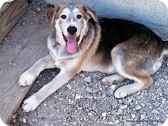 Shepherd (Unknown Type) Mix Dog for adoption in Clinton, Maine - Shane