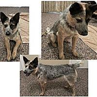 Adopt A Pet :: Blue - Conway, AR
