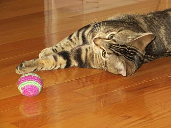 Domestic Shorthair Cat for adoption in St. Louis, Missouri - Cosmo