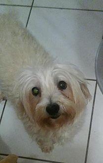 Maltese Dog for adoption in Fort Lauderdale, Florida - Asia