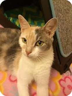 Domestic Shorthair Cat for adoption in Plymouth Meeting, Pennsylvania - Penelope