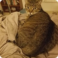 Adopt A Pet :: Bella Ana - Chicago, IL
