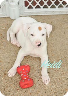 Boxer Mix Puppy for adoption in Colmar, Pennsylvania - Heidi