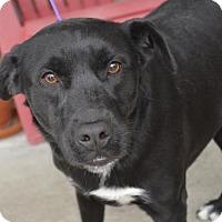 Labrador Retriever/Boxer Mix Dog for adoption in Brunswick, Maine - Cinder