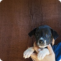 Adopt A Pet :: Moxi - Oviedo, FL